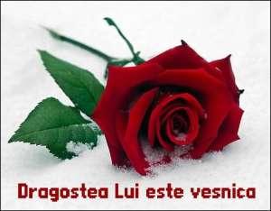 rose__1